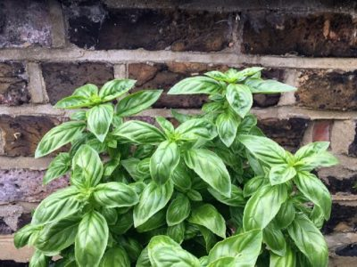 Où planter du basilic